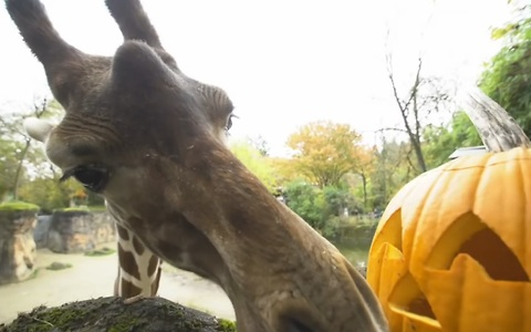 Black bears, giraffes and otters have a pumpkin party!