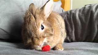 Cute Rescue Bunny Enjoys a Raspberry - Video