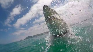 Great White Shark Breaches Right In Front Of Camera For A Spectacular Show - Video