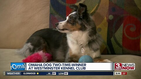 Omaha dog a two-time winner at Westminster Kennel Club