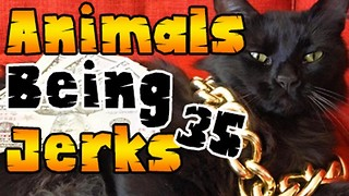 Animals Being Jerks #35 - Video