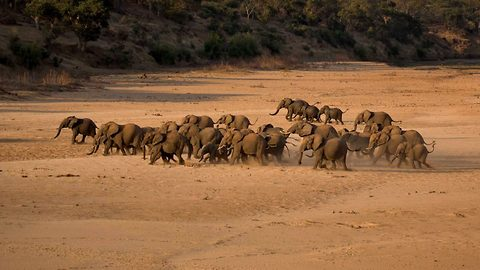 Let's stick together! Huge herd of elephants finds safety in numbers as they run from danger