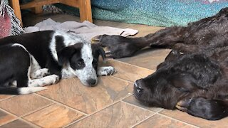 Heroic puppy helps save calf's life