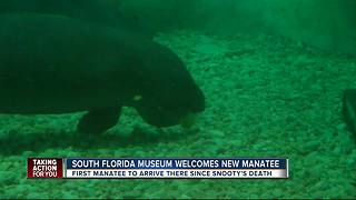 South Fla. Museum gets first rescue manatee since Snooty's death - Video