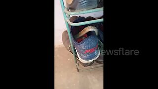 Careful where you step! Indian man finds cobra curled up inside his shoe