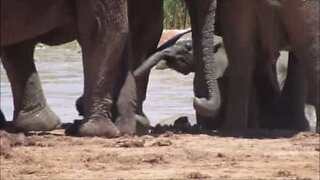 Elephants save baby elephant from drowning