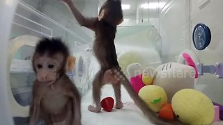 China's cloned monkeys play together in incubator - Video