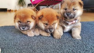 These Shiba Inu Pups Are Too Fluffy To Bear