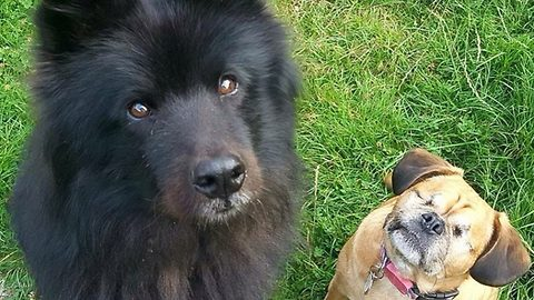 There's no 'eye' in team! Rescue pugalier with no eyes has own 'guide dog' thanks to pooch pal