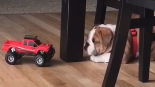 Bold puppy encounters feisty remote control car - Video