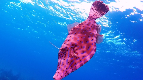 The bizarre color changing scrawled filefish