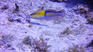 Tiny reef fish shows remarkable hunting technique - Video