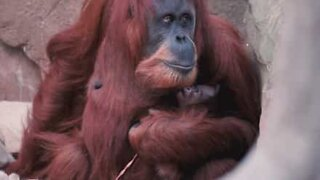 This orangutan is a very proud mom