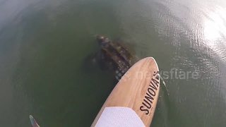 Paddle boarder has close encounter with huge leatherback turtles - Video