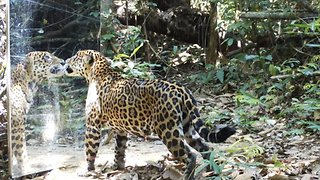 Rainforest mirror scares leopard and puma during night stroll - Video