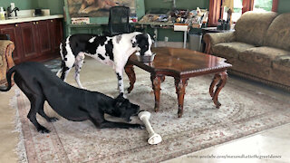 Funny Yoga Stretching Great Danes' Dinner Show