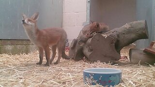 ALL GROWN UP – FOX CUB ABANDONED BY MOTHER SAVED AND READY FOR RELEASE