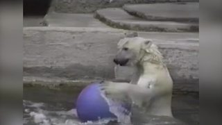 """Polar Bear Having Fun with A Bouncing Ball"""