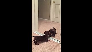 Puppy Discovers Himself In The Mirror For The First Time