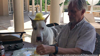 Fascinator Hat Wearing Great Dane Enjoys Lunch With Friends
