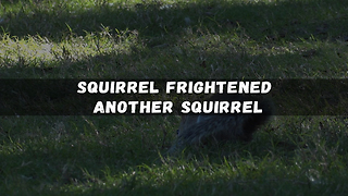 Squirrel Frightened Another Squirrel  - Video
