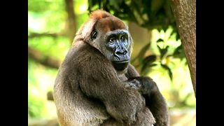 Awesome Gorilla Facts