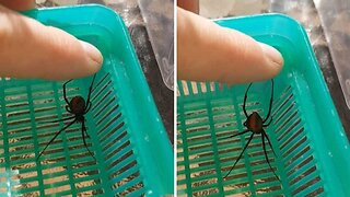 Would You Do This? Brave Insect Lover Pets Highly Venomous Redback Spider Which Tries To Bite Him