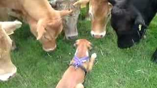 This Is What Happens When a Boxer Pup Meets a Herd of Cows - Video