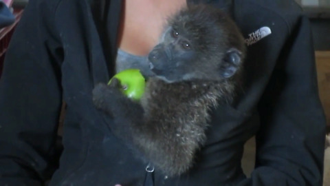 Rescued baby baboon adorably eating an apple
