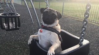 Cutest Pug Bruno On A Swing At The Play Park. - Video