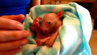 Wombat Joey Rescued From Mother's Pouch