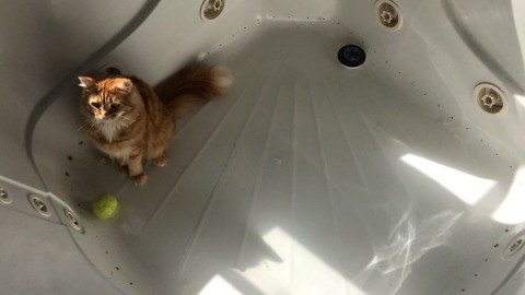 Funny Cat plays catch with tennis ball in the tub