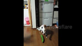 Cat vs cucumber - Video