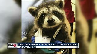 Raccoon recovering from shoulder injury at CROW - Video