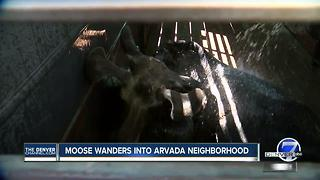 Loose moose tranquilized after wandering into Arvada neighborhood - Video