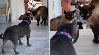 Hilariously epic showdown between dog and cats