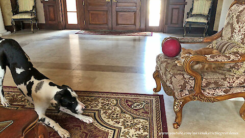 Great Dane Puppy Wants Cat To Play With His Ball With Him