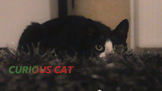 Curious Cat - Surpressing the desire to play  - Video