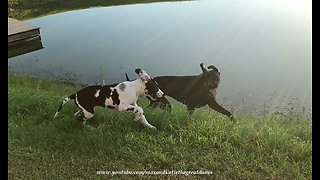 Joyful Great Danes With Happy Ears Love to Run Together