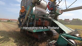 Rice harvesting in Thailand