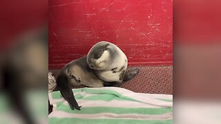 Baby Fur Seal Trying Not To Fall Asleep May Be The Cutest Thing Ever