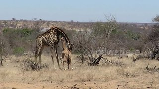 Mother giraffe protects her badly injured calf from hungry hyenas - Video