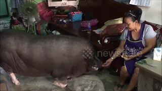 Family's house piglet grew to be a super-size greedy pig - Video