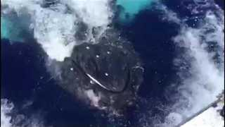 Get Up Close With Whale That Staged Spectacular Breach in Maui - Video