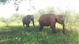 Majestic Elephants Roam Through Udawalawe National Park