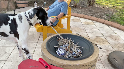 Funny Great Dane Swipes Sticks From The Fire Pit