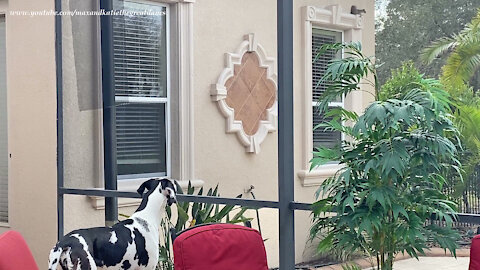 Squirrel Almost Comes Inside The Lanai To Visit With Great Danes