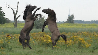 Majestic battle for dominance between wild Konik horses