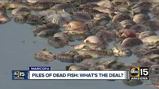 Thousands of dead fish found in Maricopa community ponds - Video