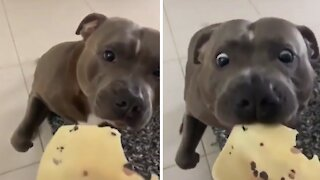 Pit Bull gentle takes a nibble of favorite cheese snack